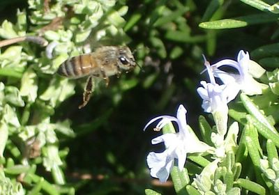 Bee flying toward rosemary flowers