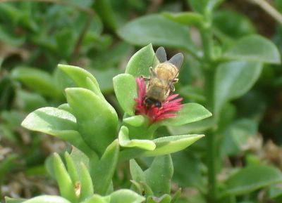 Bee on succulent