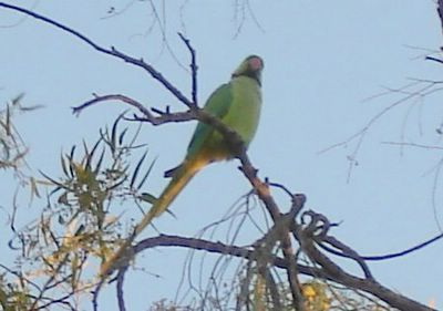 Jerusalem parakeet