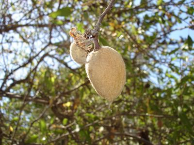 Almond on tree