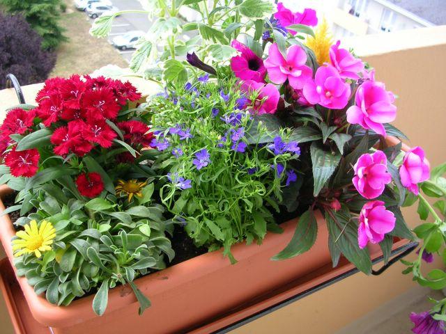 fleurs d t en jardini re plein soleil jardinage les. Black Bedroom Furniture Sets. Home Design Ideas