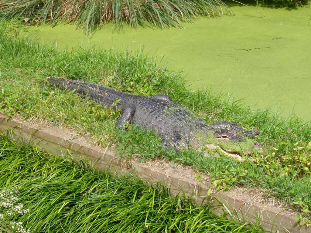 Chompy alligator
