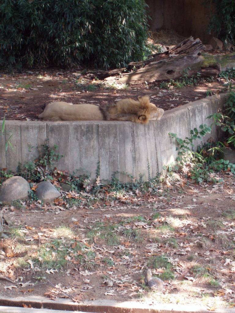 Snoozing lion and fearless squirrel