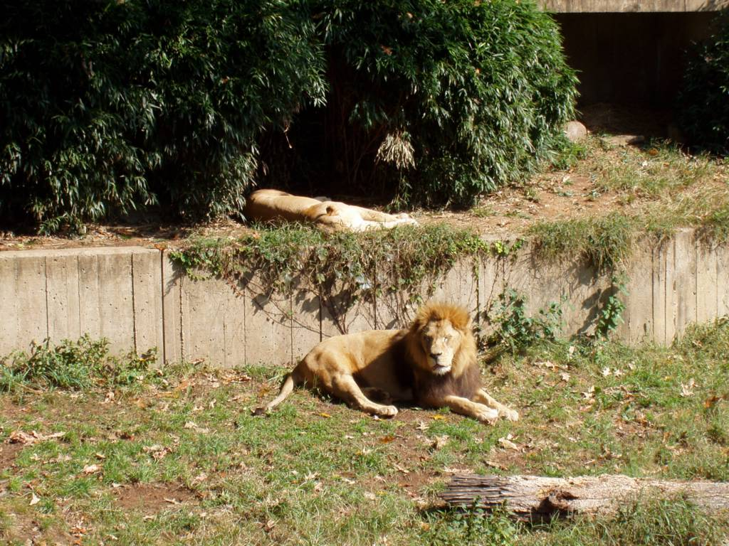 The lions are still pretty relaxed