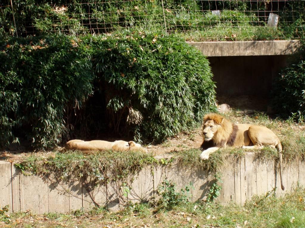 Relaxed lions