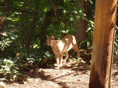 It's a caracal!
