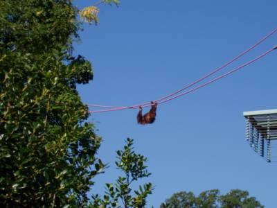 Orangutan using the O-line crossing
