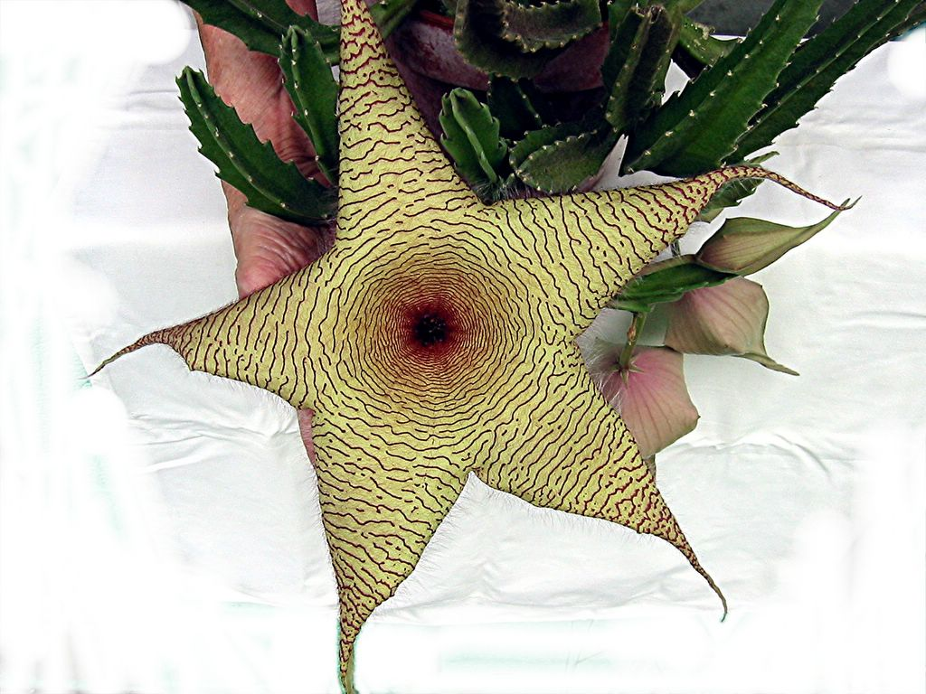 hairy starfish flower