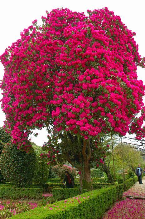 Dias com rvores abril flores mil - Rododendro arbol ...