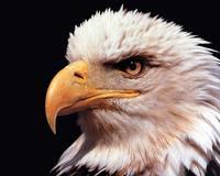 Baldy eagle