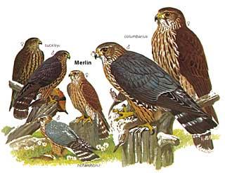Merlin pigeon hawk