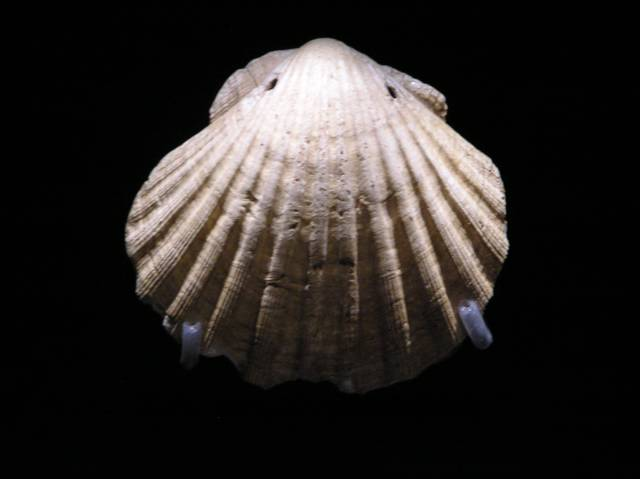 aphrodite hera and scallop shell