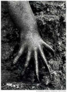 Iguana Marina - Sebastiao Salgado