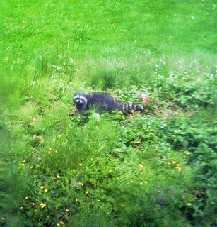 raccoon in patch