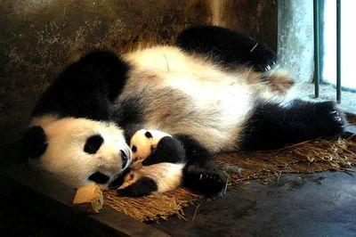 pandas by keith mcgregor