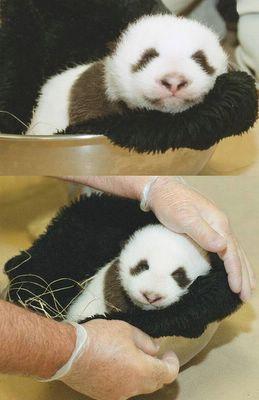 panda photos by keith macgregor
