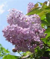 Is there anything sweeter than the lilac?  No.