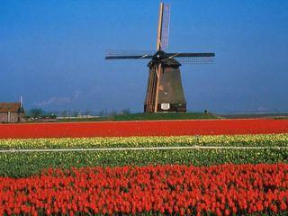 mulino a vento e tulipani