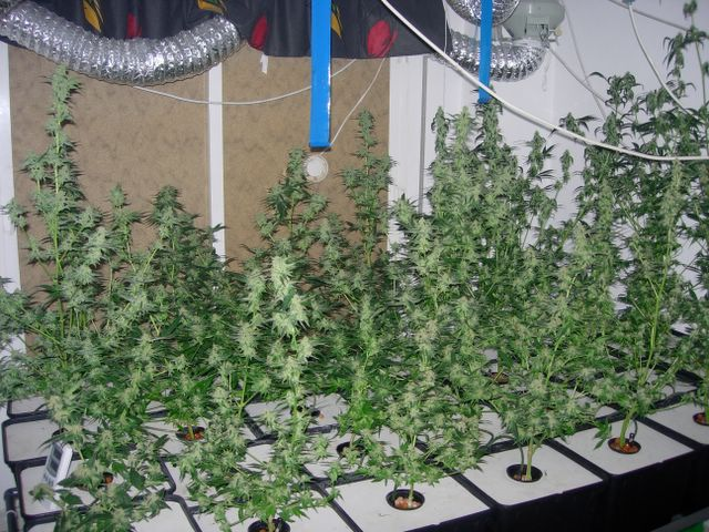 Cultivo de marihuana interior paso a paso la marihuana for Cultivo interior casero