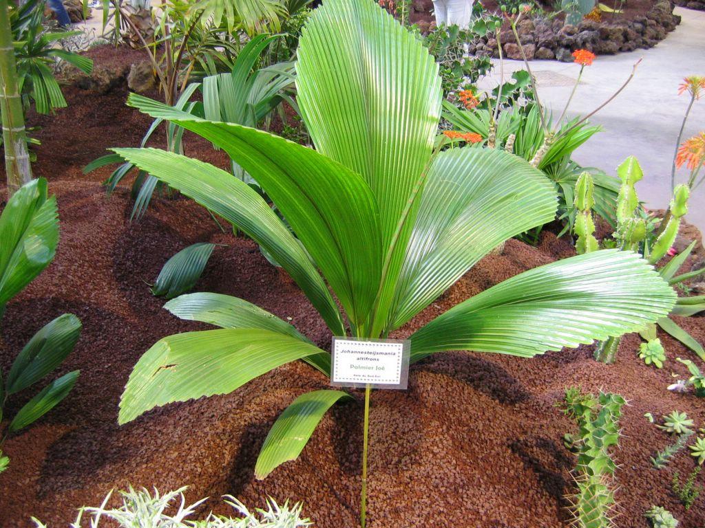 Squidlididli 39 s blog - Quand tailler un palmier ...