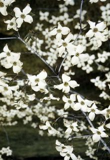 American dogwood (Cornus florida) was named the state flower of North Carolina in 1941. Notable for a hardness of it's wood.