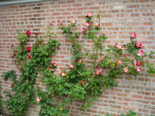 Climbing roses Ramblin Red and Fourth of July
