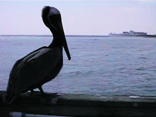 foto de Carlos Neri, pelicanos en Miami