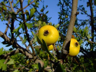 aarour jujube ziziphun tunisia zaghouan fruit moutain