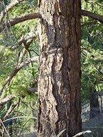 Douglas fir trunk