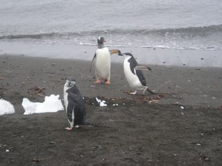 Chinstraps and a gentoo