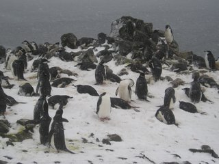 A Chinstrap Penguin colony