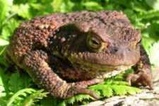 Common British Toad: Bufo bufo
