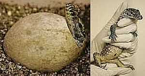 Egg Hatching and Baby Komodo Dragon in Hand (2007)