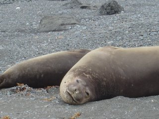 elephant seals