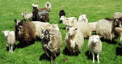 North Ronaldsay ewes & lambs at pasture.