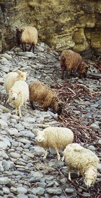 North Ronaldsay wethers & rams scavenging for seaweed on the rocky shore.