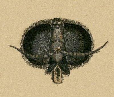 Schaeffer - Abhandlungen von Insecten h