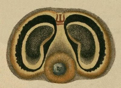 Schaeffer - Abhandlungen von Insecten k