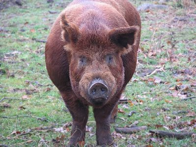 big red female pig with scalloped curvy ears