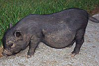 picture of a stray pig in salawikain