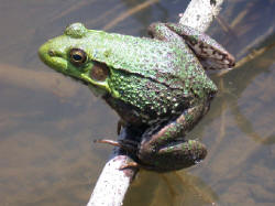picture of a frog for bugtong-filipinosongsatbp.blogspot.com