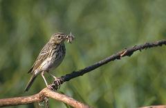 Philippine bird