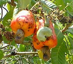 image of cashew nutsfor bugtong
