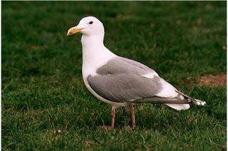 Seagull in a living state