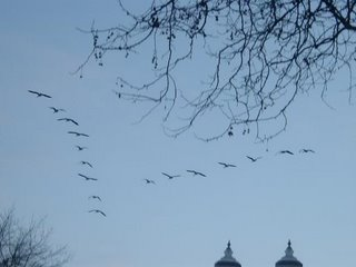 Canadian Geese in V formation over Naito Parkway near Ankney