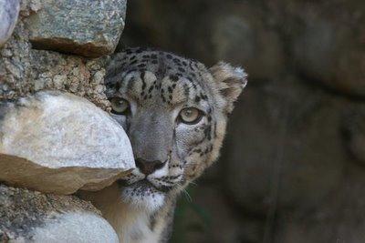snow leopard, Naini Tal zoo