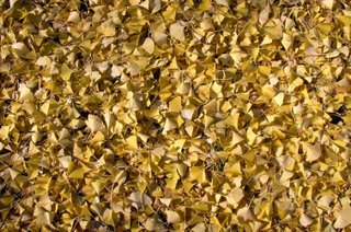 ginkgo leaves in Japan