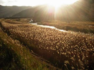 susuki pampas grass