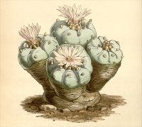 Curtis's Botanical Magazine – plate 4296, Lophophora williamsii