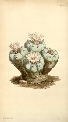 Curtis's Botanical Magazine – plate 4296, Lophophora williamsii, Illustration